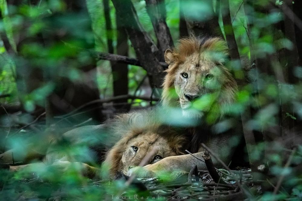 ספארי טנזניה - תומר רצאבי