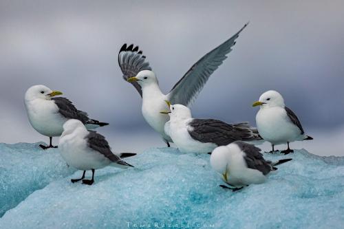 צילום בעלי חיים - ציפורי ריסה בשפיצברגן | תומר רצאבי