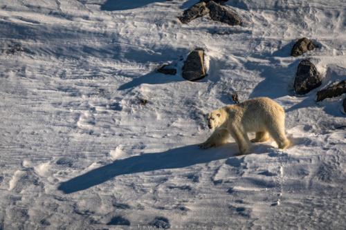 צילום בעלי חיים - דב קוטב בשפיצברגן | תומר רצאבי