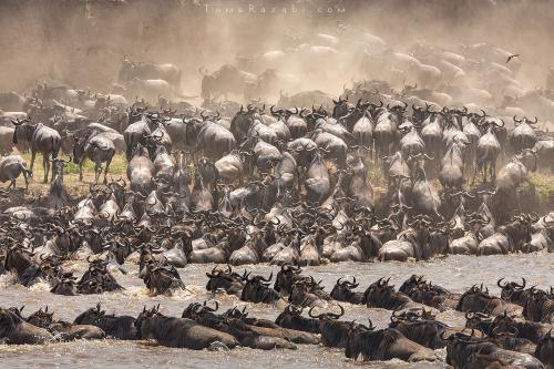 גנו חוצים את נהר המארה בטנזניה במהלך טיול ספארי - תומר רצאבי