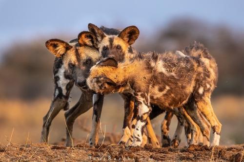 namibia wild dogs - Tomer Razabi