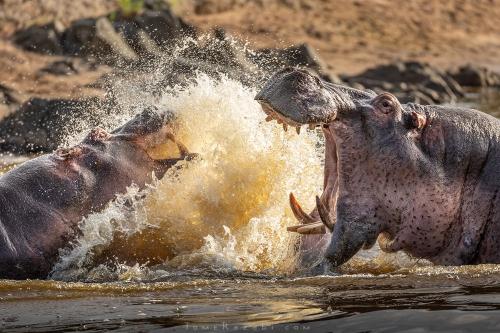 היפופוטמים רבים צולם בטיול ספארי בטנזניה - תומר רצאבי