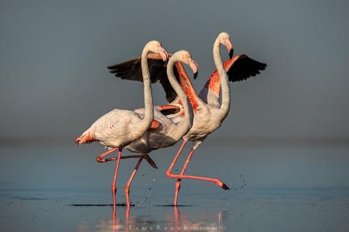 Flamingos during sunrise at Walvis Bay Namibia - Tomer Razabi