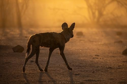 Africa wild dogs - Tomer Razabi